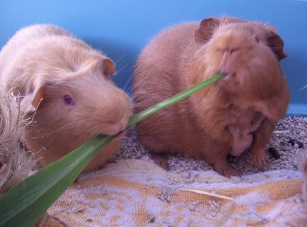Tug of war over salsify leaf