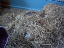 Humphrey hides in the hay