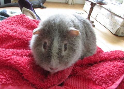 midge on the towel