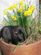 Percy in the daffodils