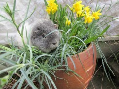 Oscar in the daffodils