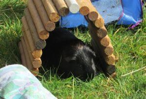 Percy enjoying spring grass