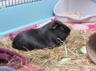 Percy lazes on the hay