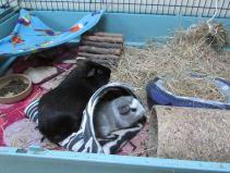 Percy and Bertie in the zebra sack