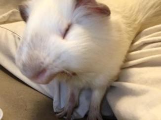 Atticus yawns 1