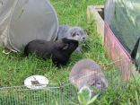 Biggles, Percy and Midge