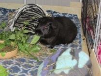 Mr Percy pig eating leaves