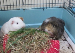 roscoe and Neville with fresh grass