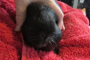 Percy's lump