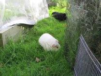 Roscoe and Percy