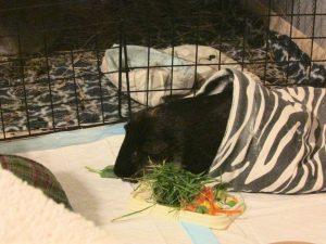 Percy picks some grass