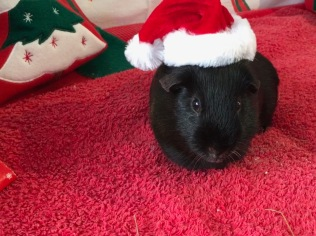 Percy in hat