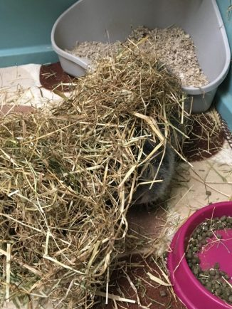 Biggles in the hay