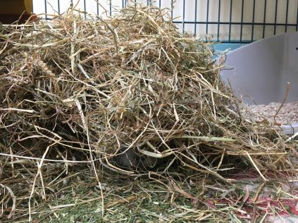 Bertie's nose in the hay