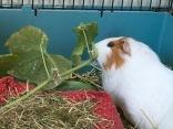 Roscoe attacks cucumber leaves