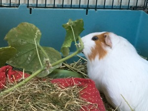 Roscoe attacks cucumber leaves