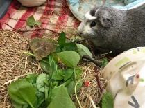 Bertie with bean leaves