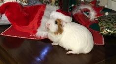 Roscoe with Santa hat