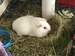 Roscoe making a hay nest