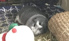 Bertie curled up on his hay