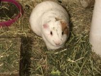 Roscoe eating hay