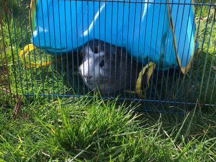 Bertie hides under the tent