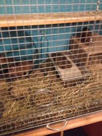 All four degus in their cage - March 8th 2016