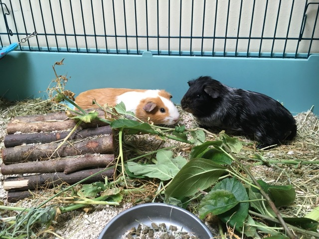 foster rescue pigs Fire and Eclipse